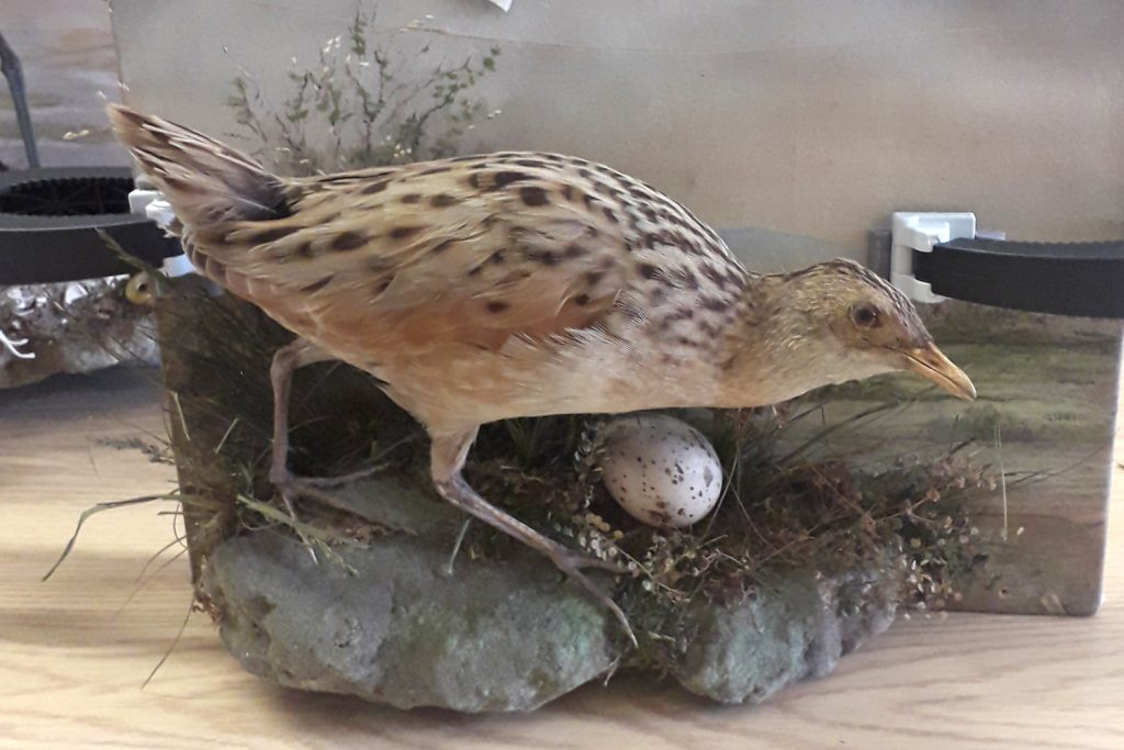 Corncrake – Natural History Collection