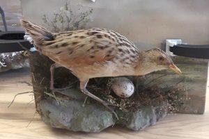 Corncrake – Natural History Collection
